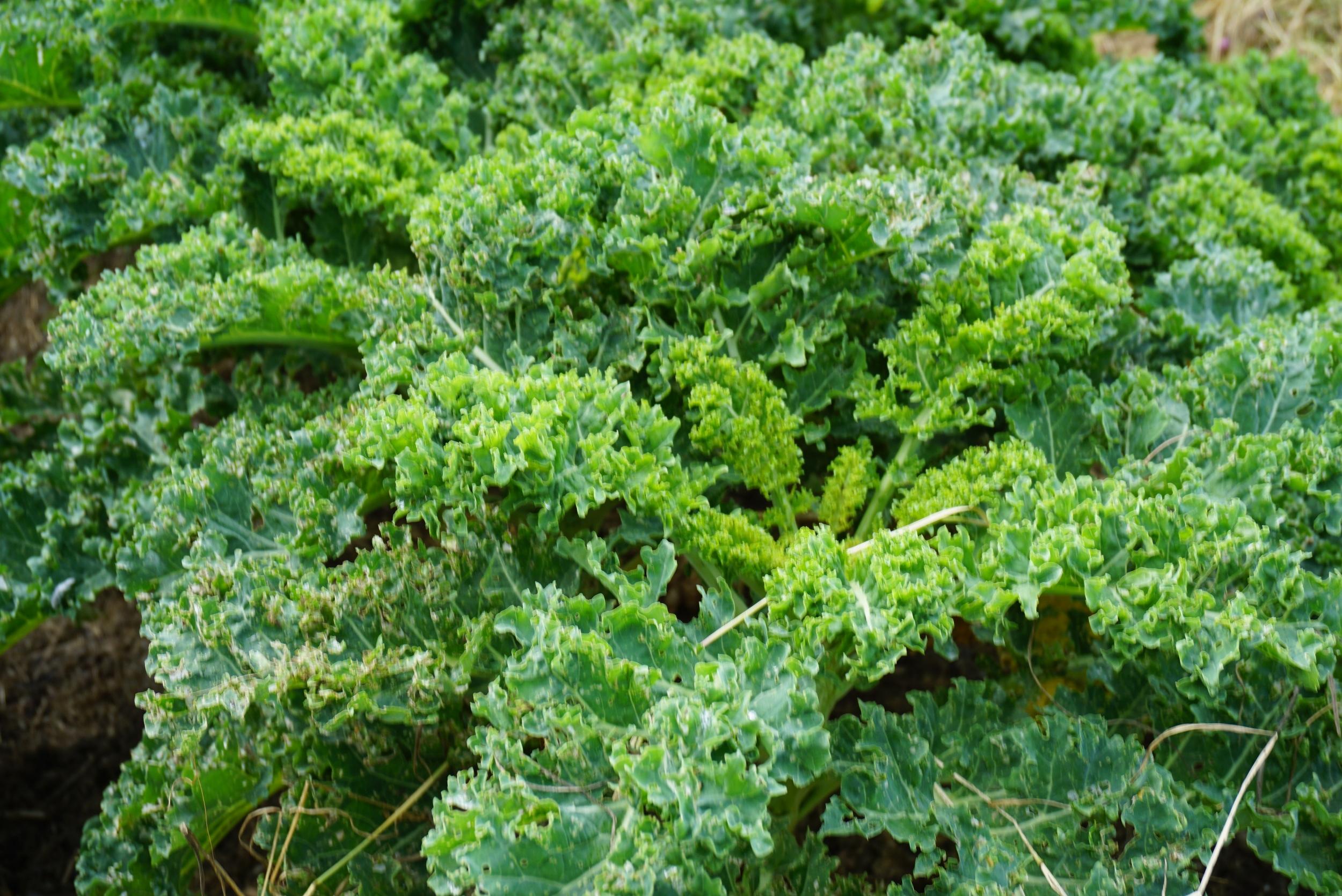 Grønnkålen har kommet seg etter mye grønnsåpevask. (Noen ganger grønnsåpe, olje, bakepulver eller grønnsåpe og aske).