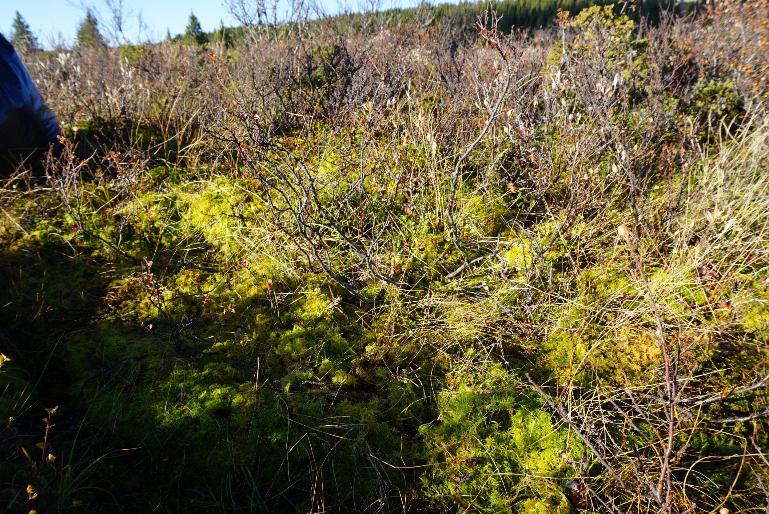 Hvitmosen vokser på de fuktigste myrområdene.