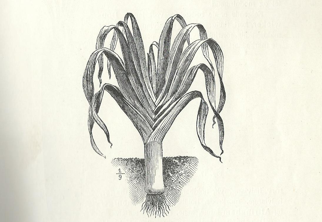 Tegning av purre fra boken Havedyrking av Sigurd Lysbakken 1909