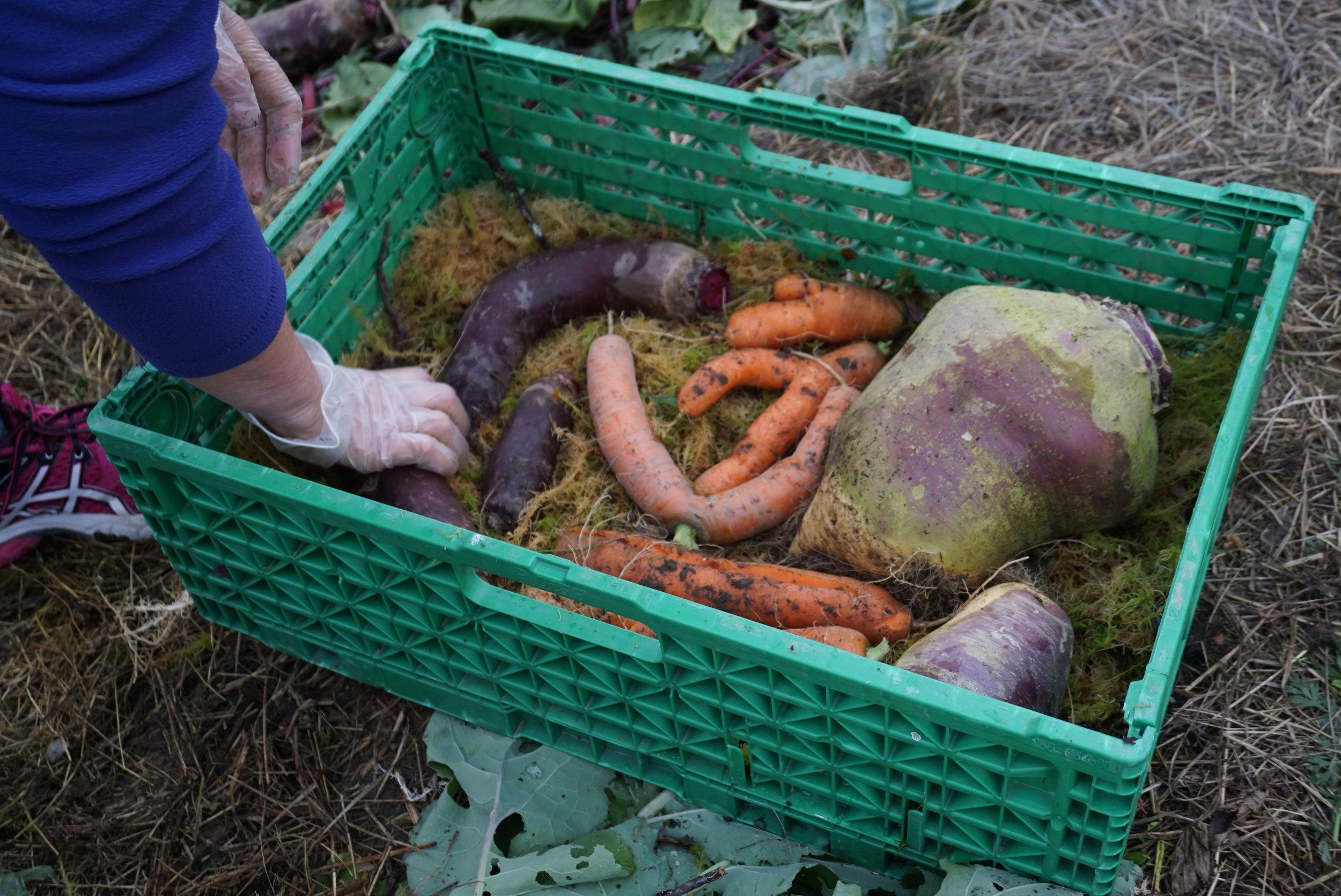 Et utvalg rotgrønnsaker pakkes ned for en liten lagringstest.