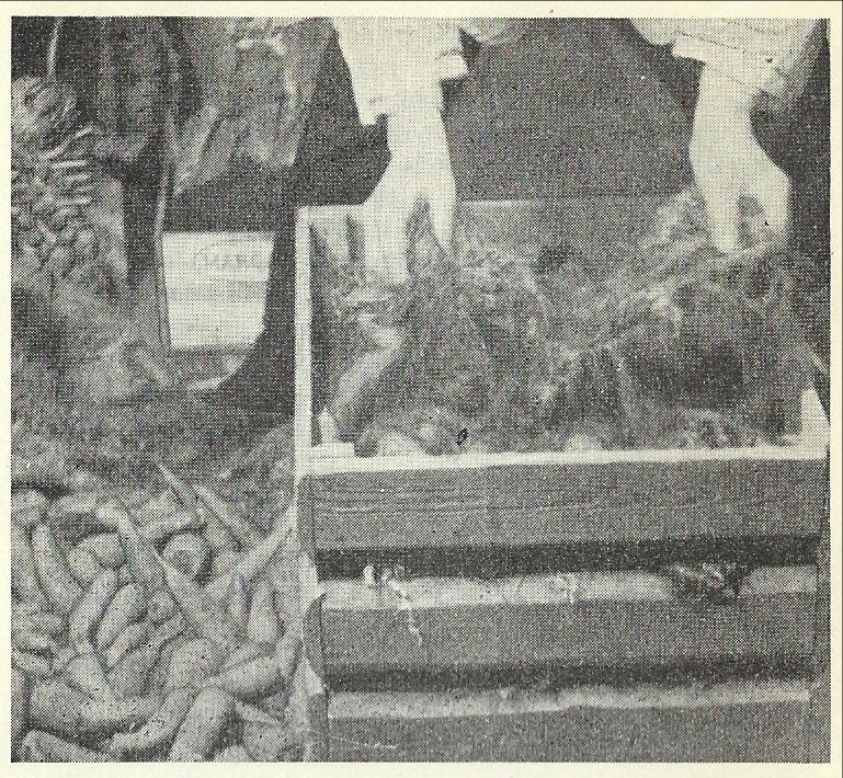 Kvitmose var professor Moen sitt første valg for å lagre rotgrønnsaker i. Bilde fra Hagebok for heim og skule 1949
