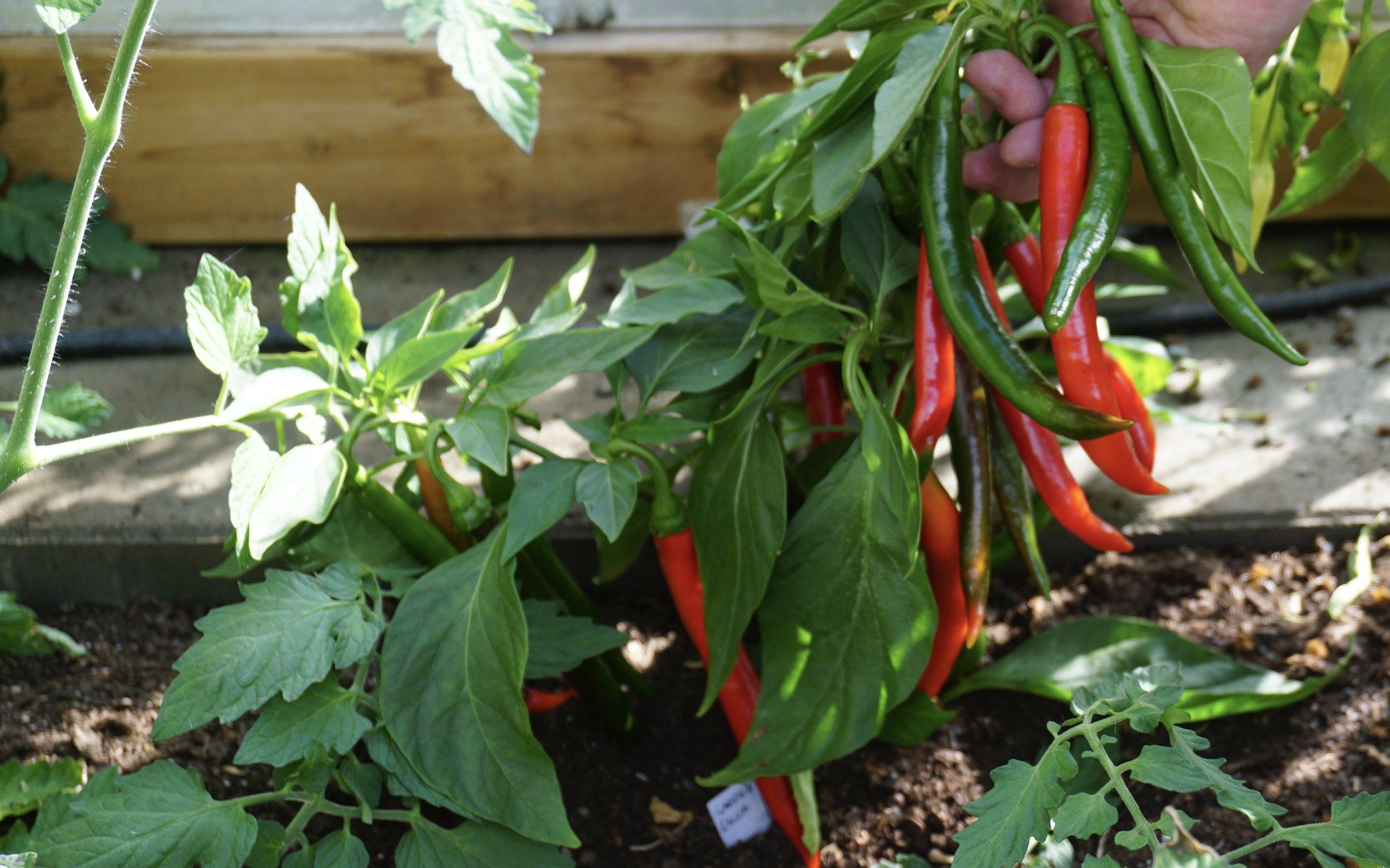 Garden Salsa er en av de sortene Christopher har erfart gir tidlig og god avling.