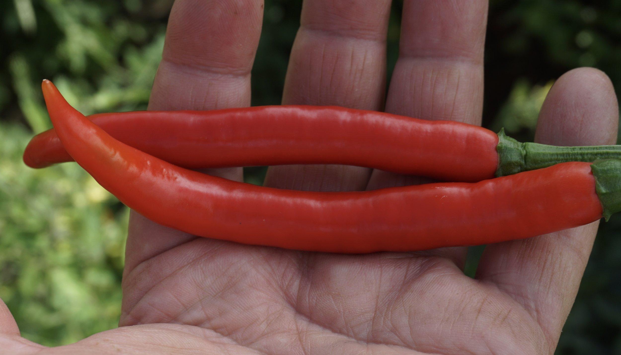 Garden Salsa er både stor og pen, men det er ikke et kriterium for sortene vi søker.