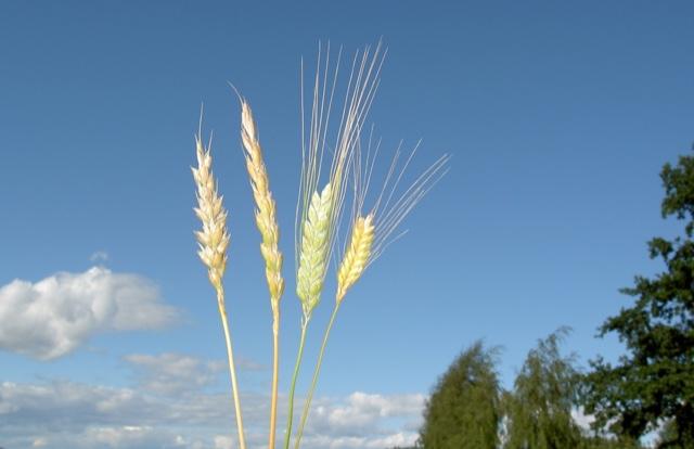 Hvete - spelt - emmer og enkorn. Et lite utvalg av gamle kornsorter.