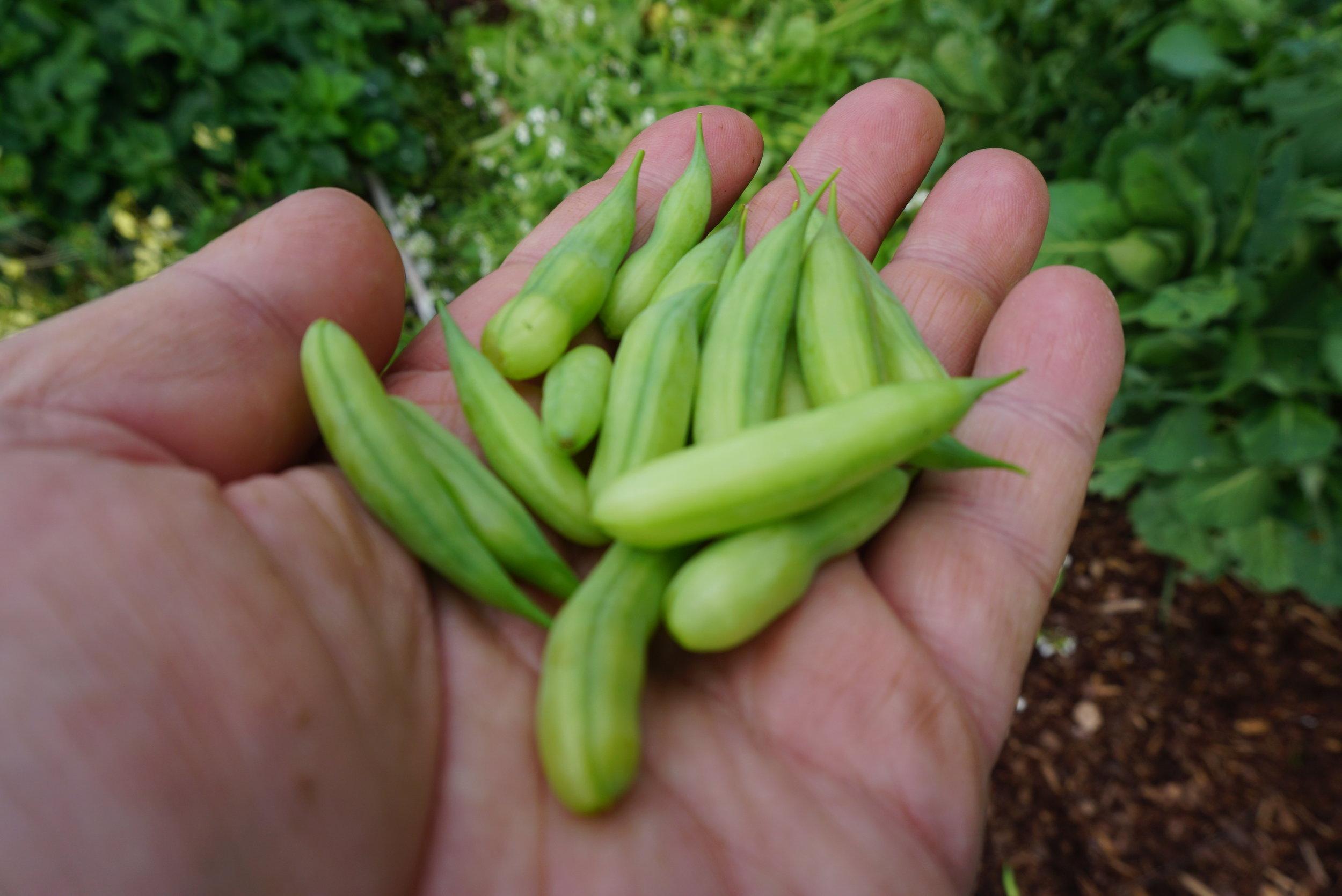 Smakfulle og saftige er de reddikens frøstander - og ikke helt ulike brytsukkererter i formen