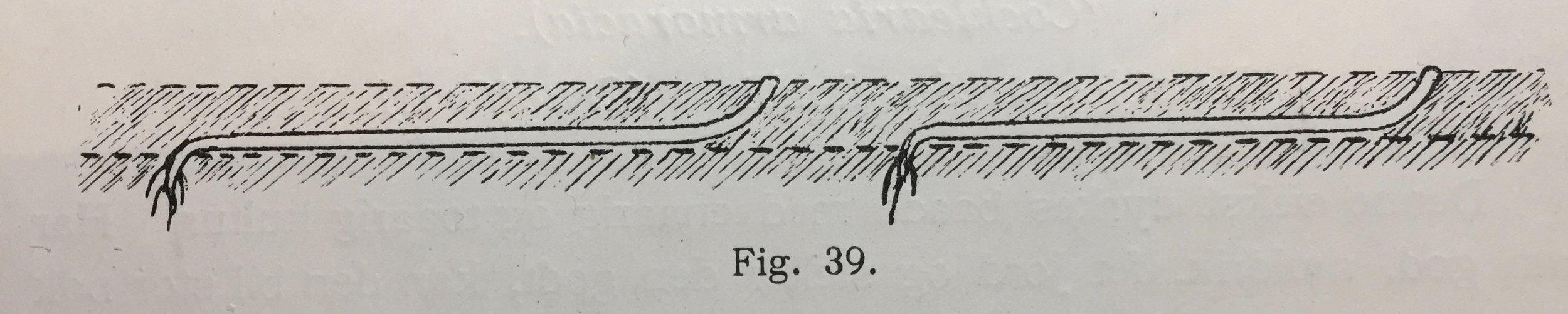 Et tilsynelatende kjedelig bilde i en lærebok fra 1909 gir oppskriften og forklaringen på lange jevne, tykke og fine pepperrøtter.