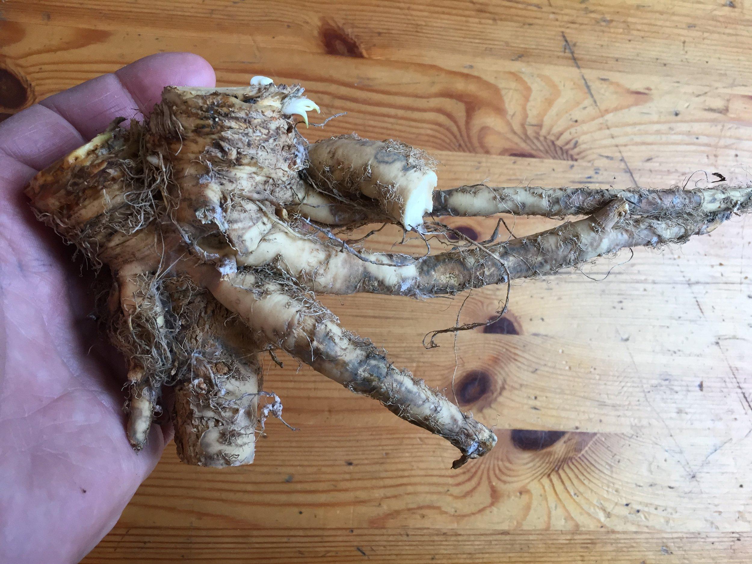 Dette er formen våre røtter har kommet opp av jorden med. Krevende rensing, mye avskjær og arbeid. Vi ser frem til å ta gamle dyrkingsteknikker i bruk.
