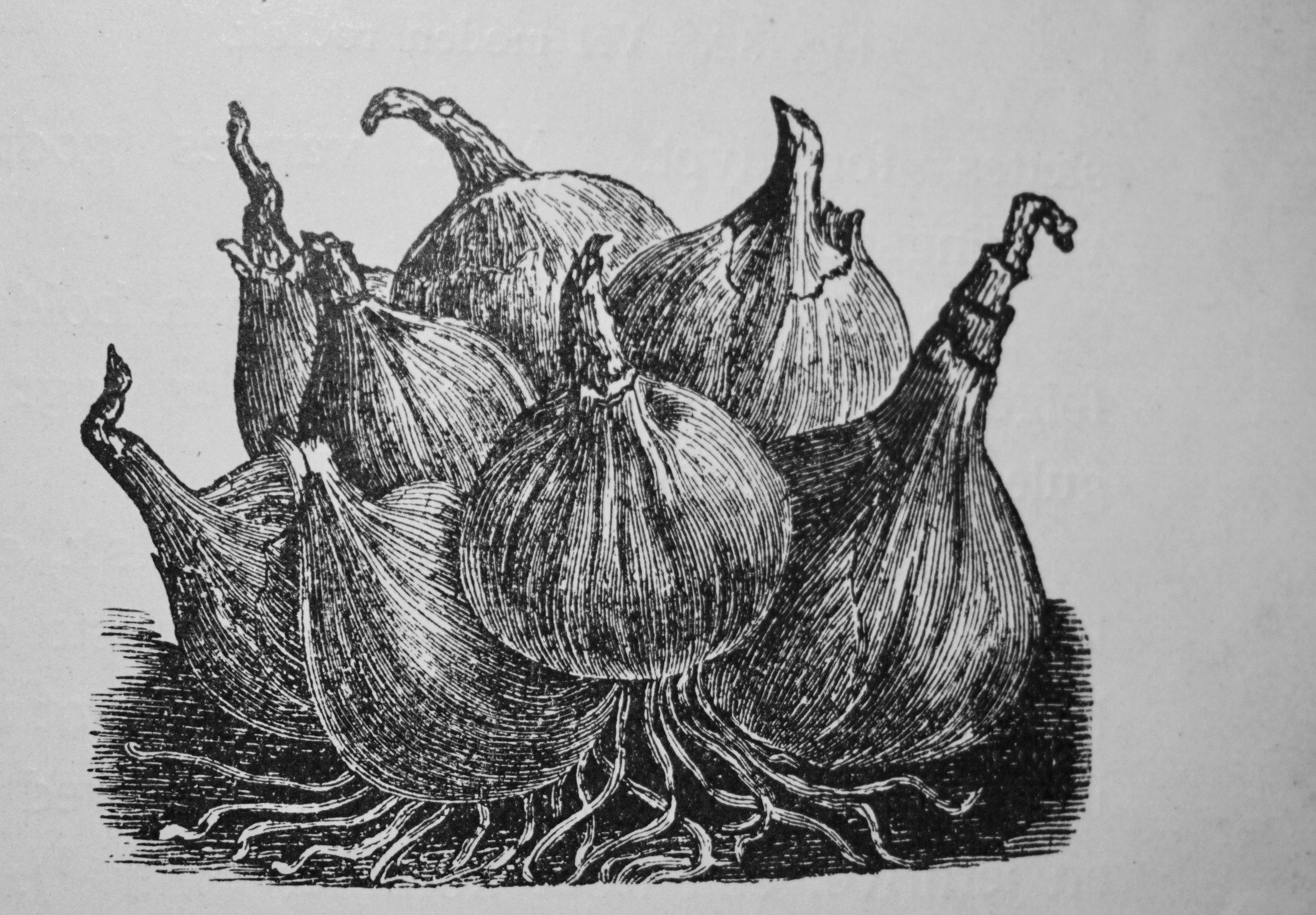 Sjalottløk tåler, i følge Sigurd Lysbakkens bok fra 1909, hard frost. Bilde fra boken.