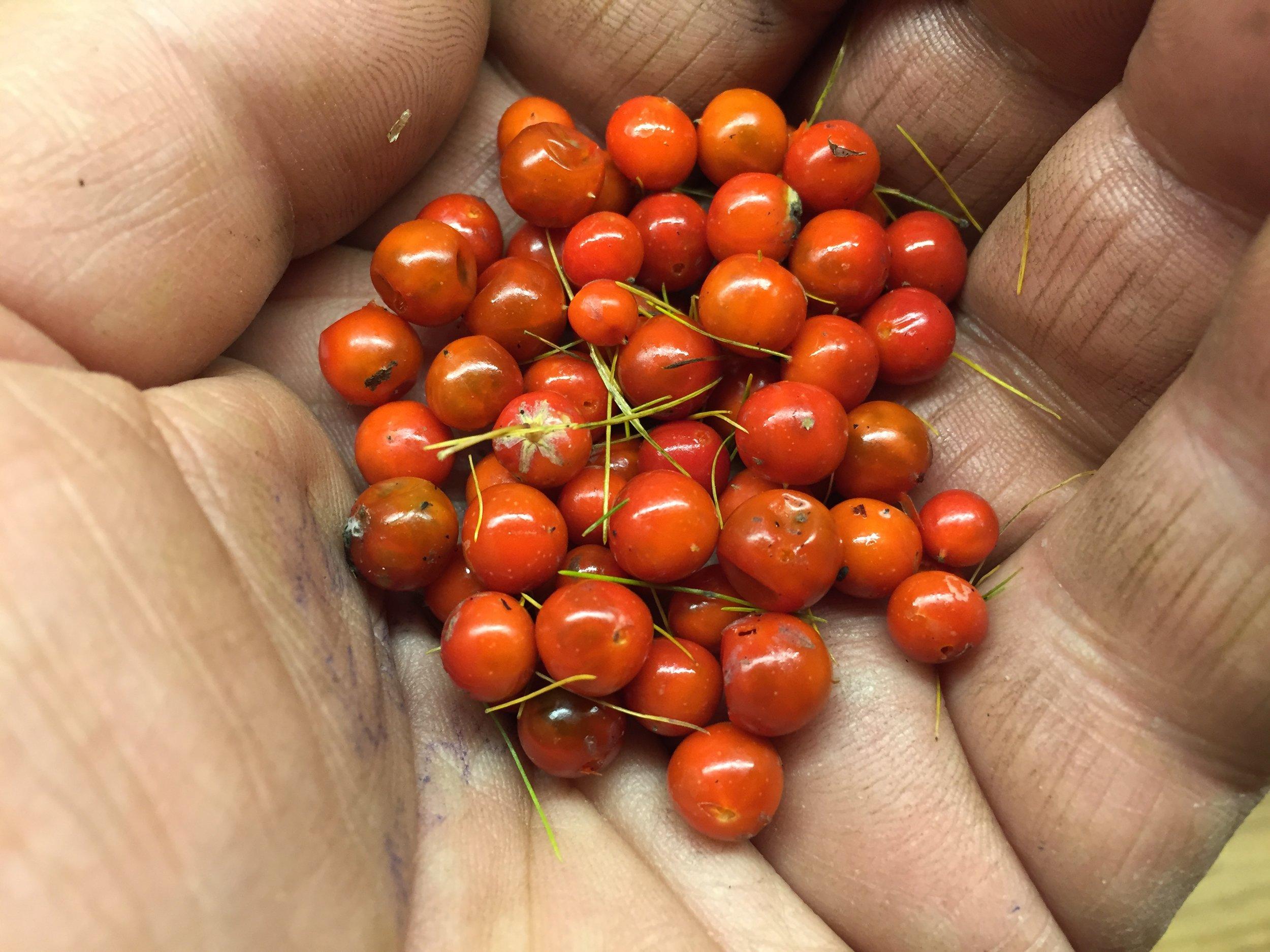 Modne bær er på størrelse med tyttebær.