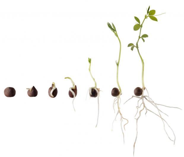 """En plantes utvikling og livsbetingelser, fra den som frø vekkes og helt frem til den har sine første varige blader og kan """"stå på egne ben"""", er avgjørende for livet videre. Bilde: https://ndla.no/nb/node/69681"""