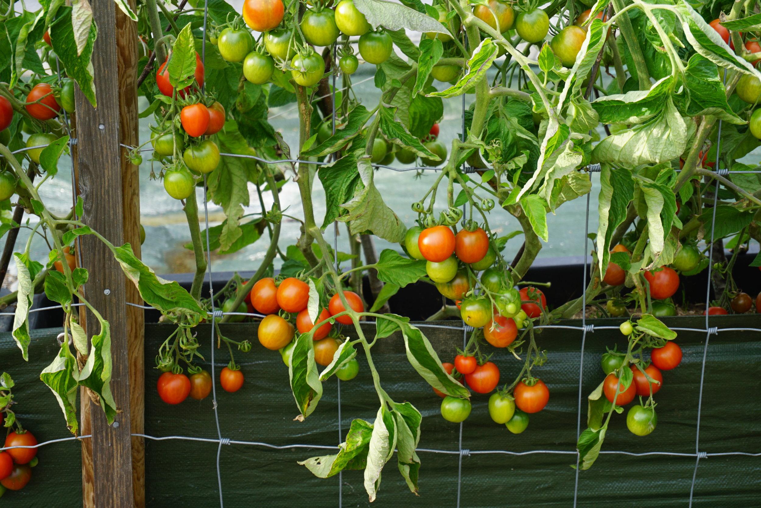 Selv i innlandet gir tomater god avling utendørs, når det bare velges riktig sort, plassering og gjødsling. Disse er gjødslet kun med brenneslevann.