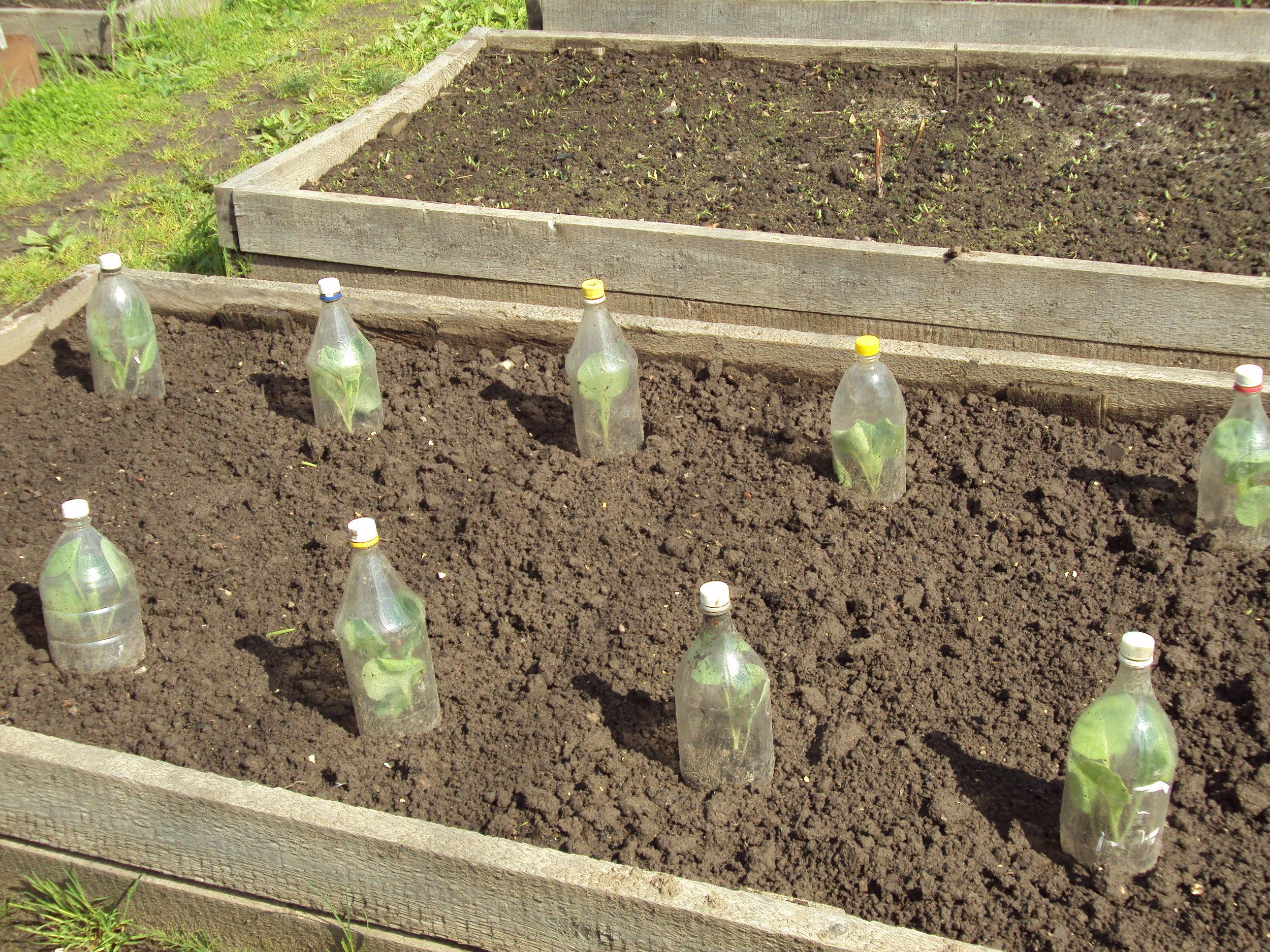 Flasker over kålplanten på en datsja i Russland. Her er korkene på, men det kan bli for varmt. En mulighet er å ta av korken å dekke med fiberduk.