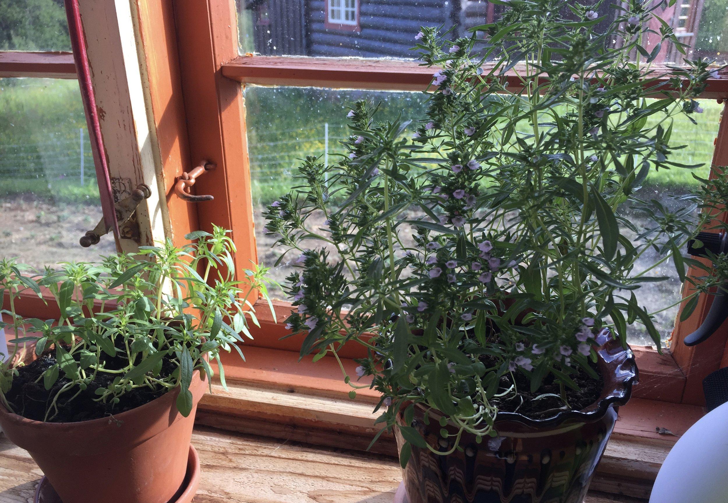 Sarplantene såes i to etapper. Først sår de noen få veldig tidlig for å få frem modne frø gjennom sommeren. Resten såes litt senere for å produsere krydderet de bruker.