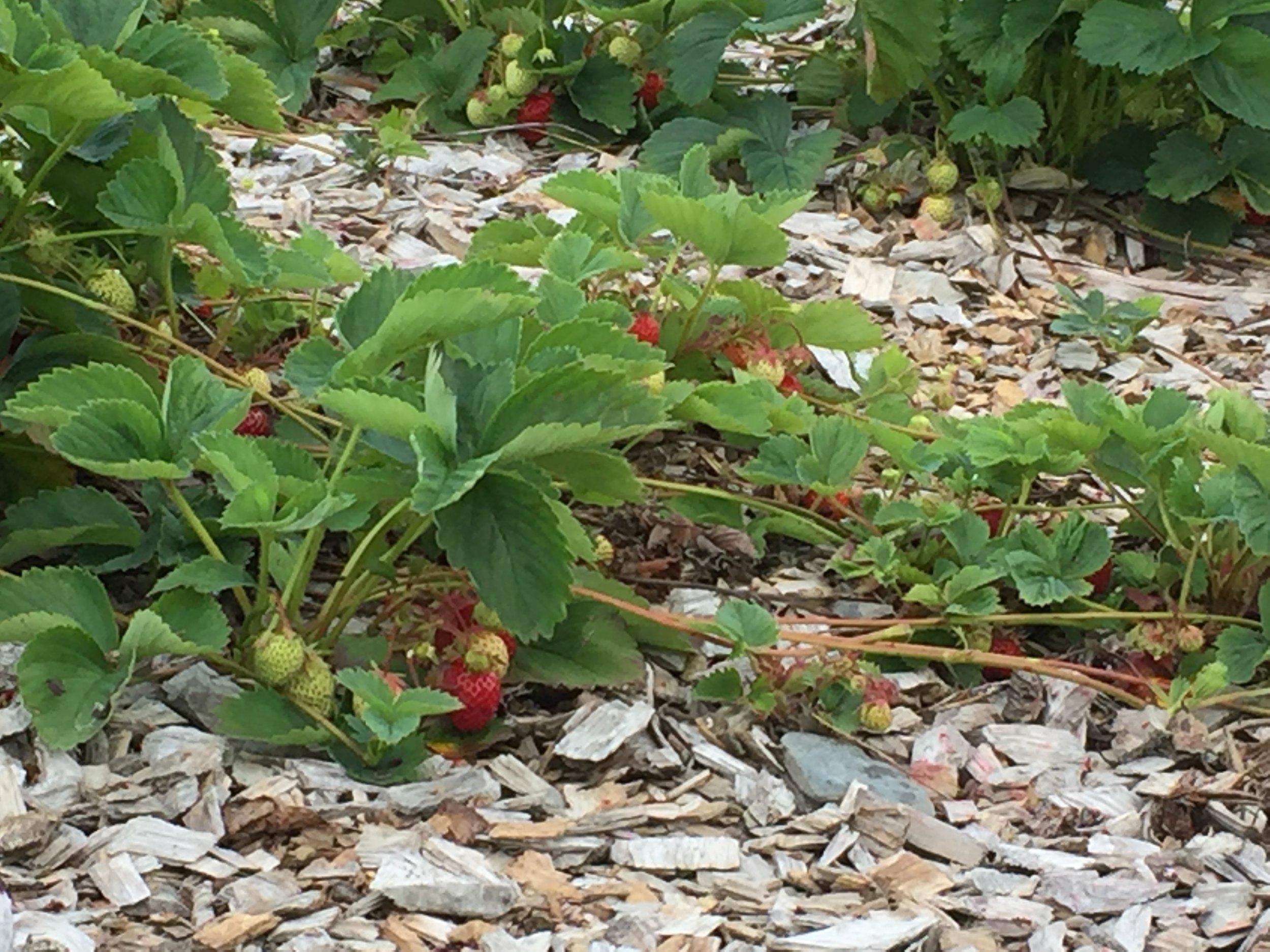 Et jordbærfelt på treflis blir rent og er lettvint å stelle.