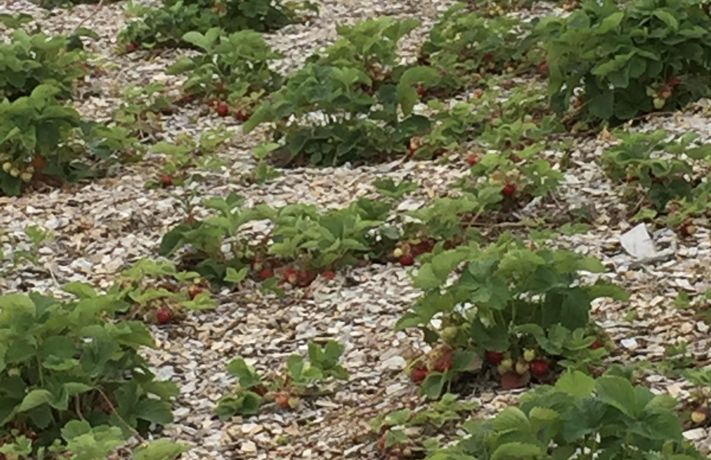 Enkelte områder har skrinn jord under flisen, men det har på mange måter sine fordeler. Mindre bladmasse gir enda bedre utlufting og mye lys til bærene som modner.