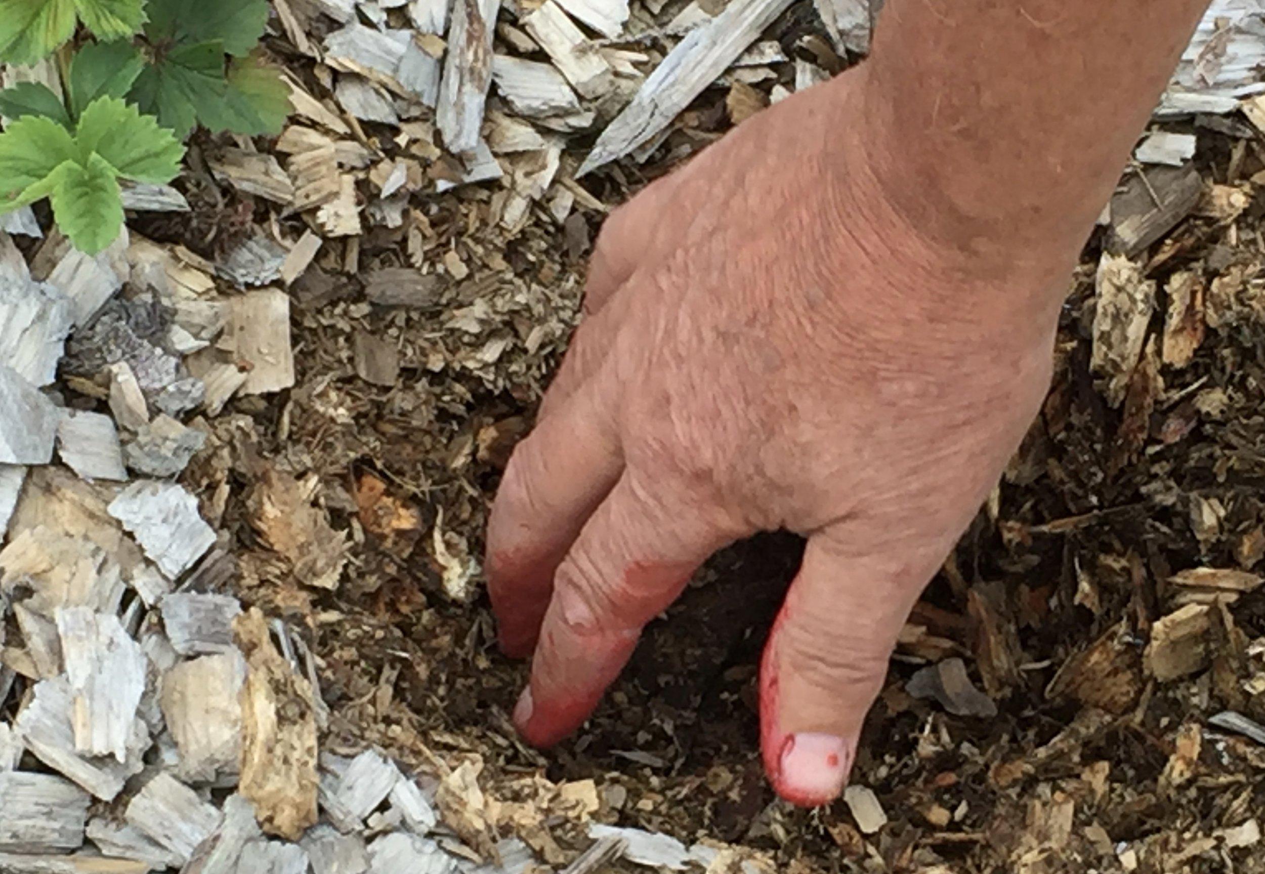 Flislaget holder i mange år, men graver man litt ned i det, ser man at det er i ferd med å råtne. Det holder godt på fuktigheten og blir til fin jord den dagen feltet er for gammelt å skal pløyes opp.