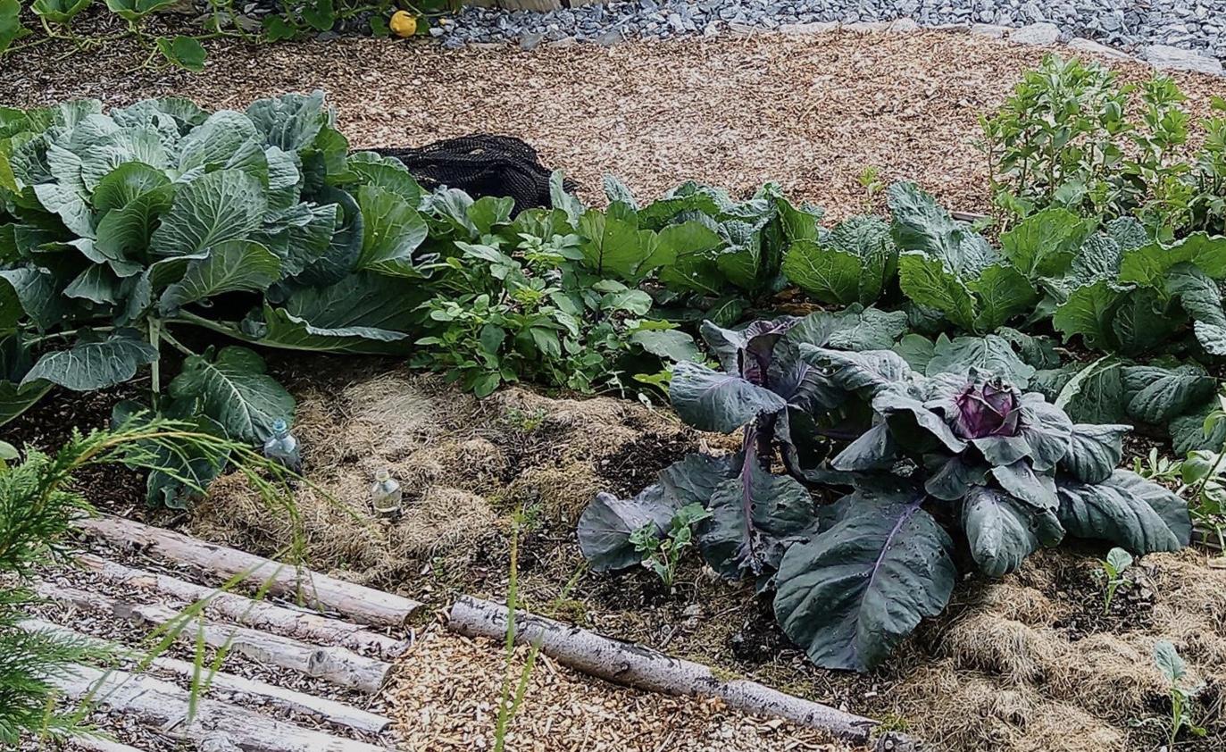 i min kjøkkenhage er det mye stokker, fliskutt, tang, kompost og gressklipp og egentlig ganske lite svart jord.
