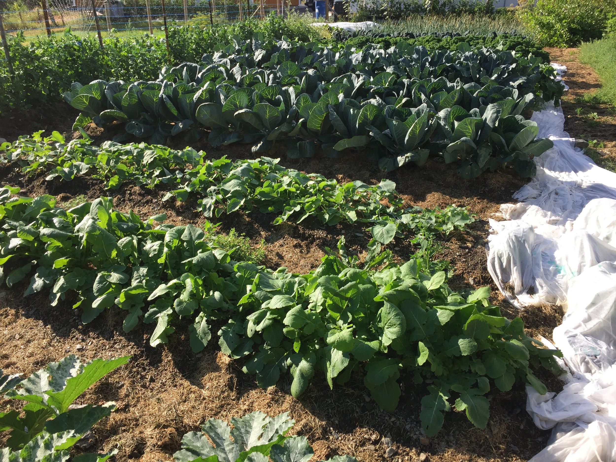 I Datsjas beredskapshage på 200m2 henter vi ut omlag 1000 kg grønnsaker årlig - kun med gress dekke og brenneslevann som gjødsling. Derfor mener vi alle plener har et potensiale for matvareproduksjon av betydning.