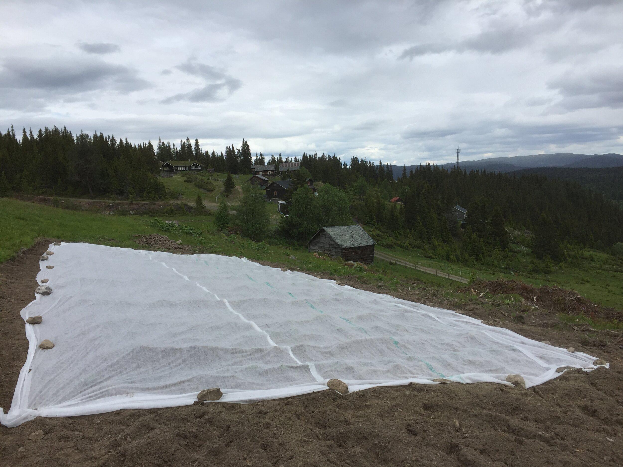 Ved å dyrke på en stølsvang 900 moh i Valdres trekker vi oppformeringen ut av potensielt smittefarlige områder og optimaliserer plantehelse til startkulturene. Foto Anders Nordrum