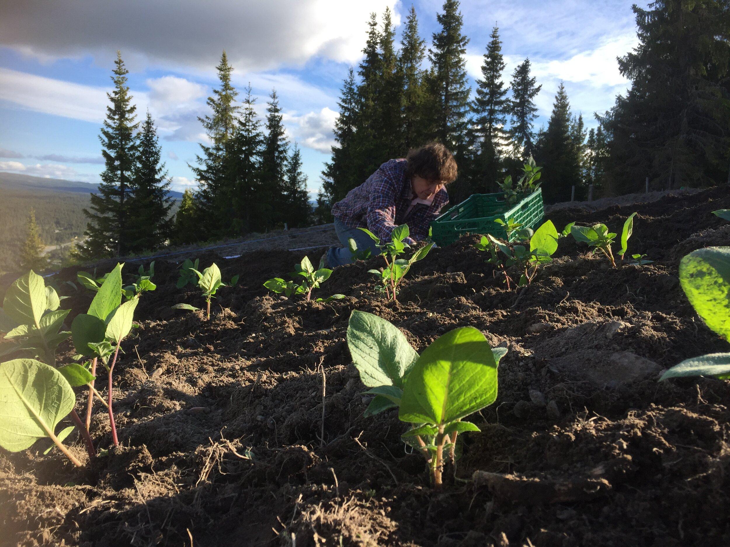 Barbro planter ut 21. juni på 900 moh. Foto Anders Nordrum