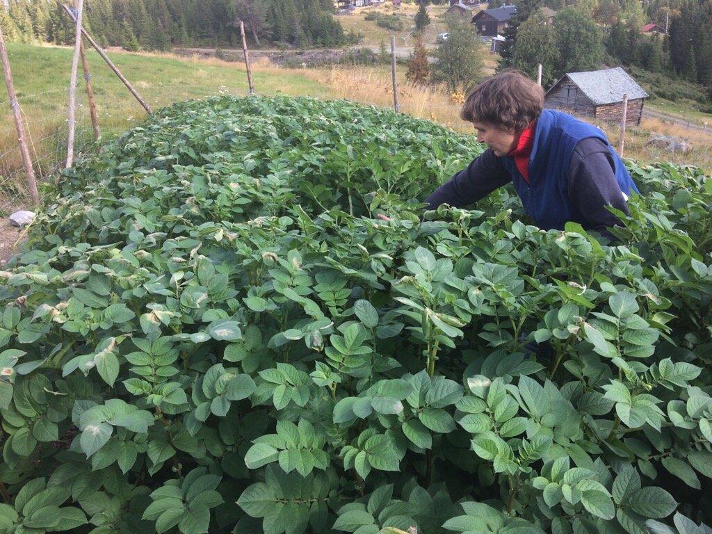 Med fiberduk over, ble veksten på plantene overraskende god frem til frosten her svidde toppene og vi høstet 7. september. 4 måneder etter at meristemplantene ble hentet på Overhalla. Foto Anders Nordrum