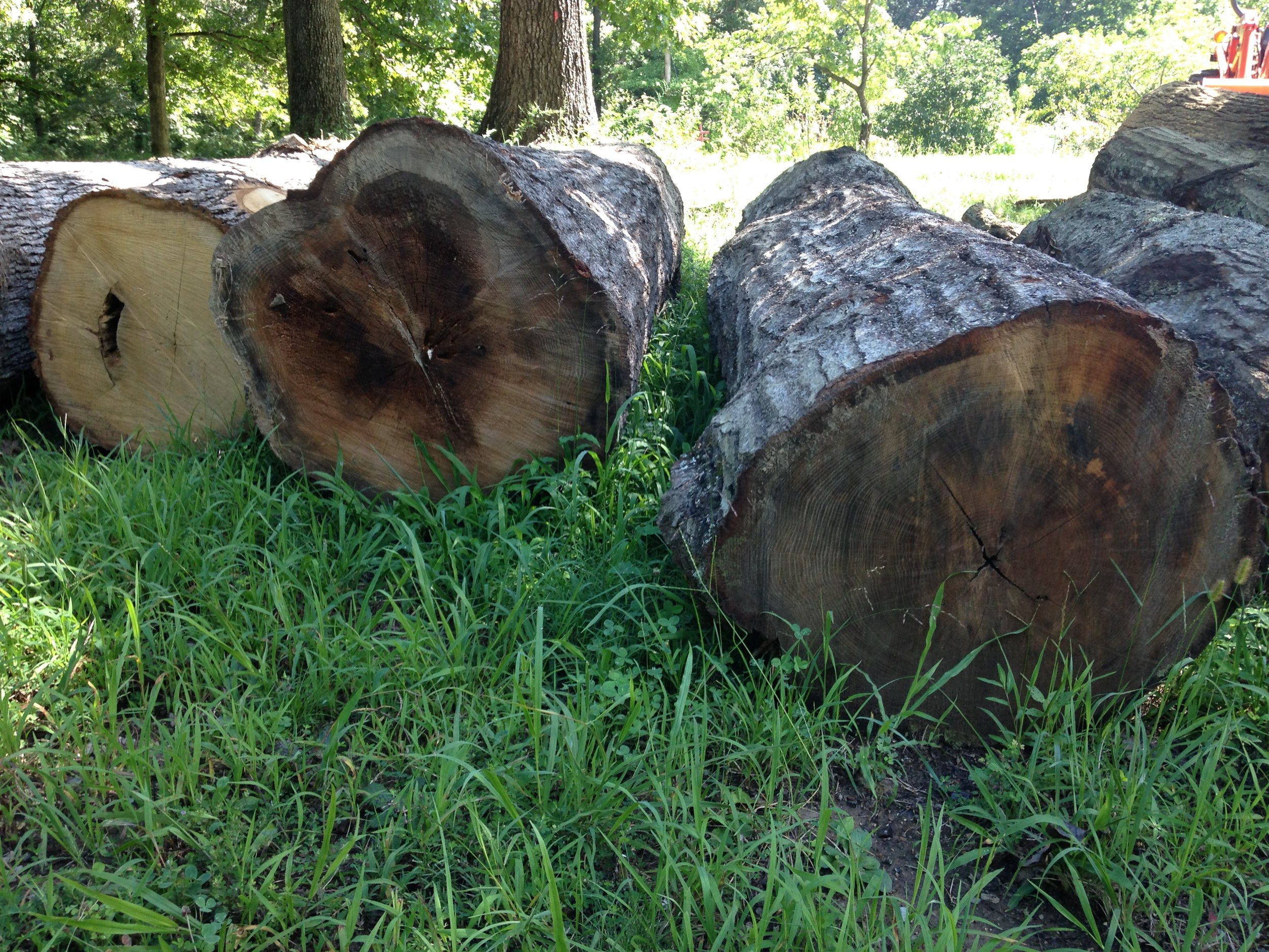 Oak logs waiting to be sawn.