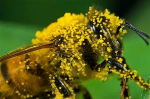 pollenbee.jpg