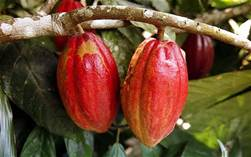 cocoaplant.jpg