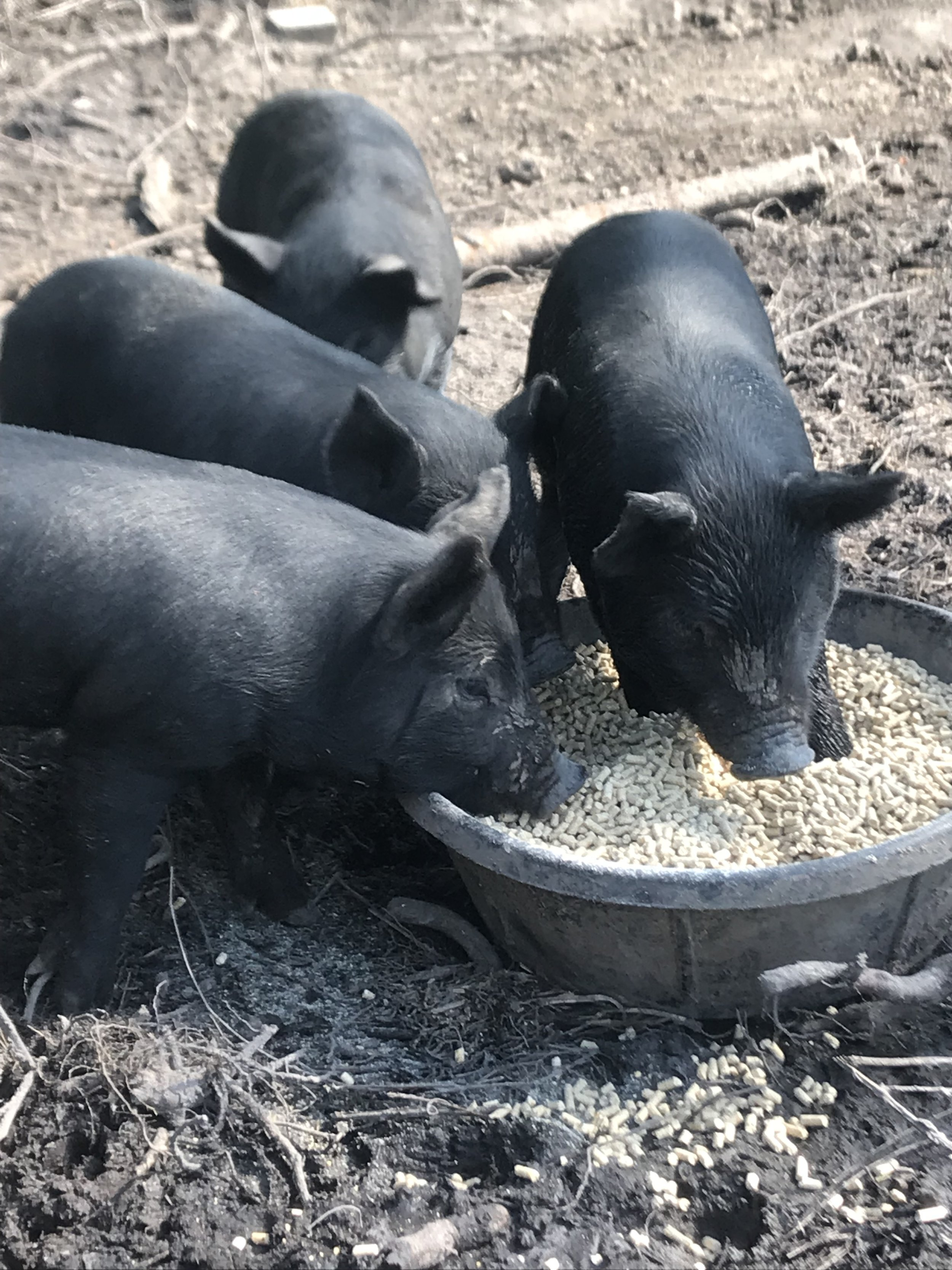 Fresh Pork and Healthy Pigs