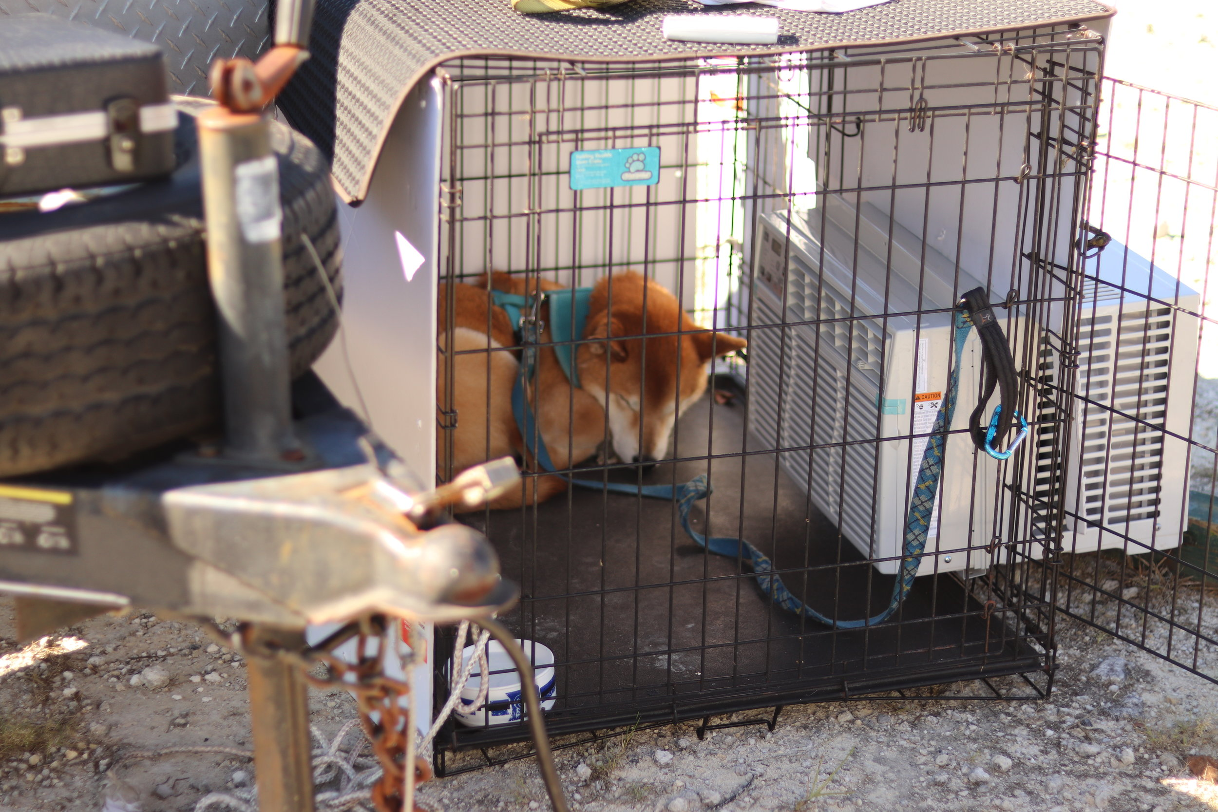 Paiku sleeping in his cool AF kennel on a hot day at the Florida International Rally & Motorsports Park