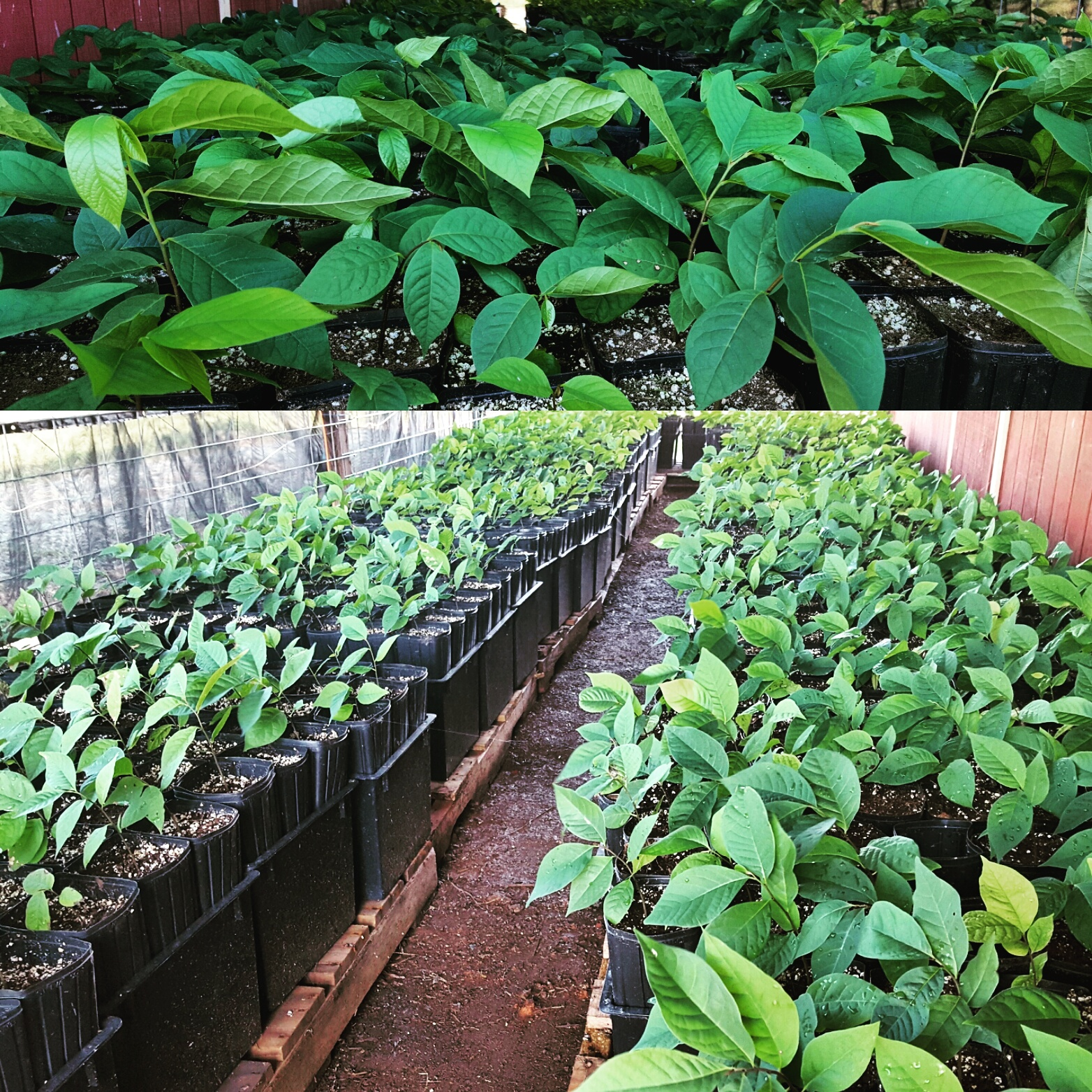 Paw Paw Seedlings