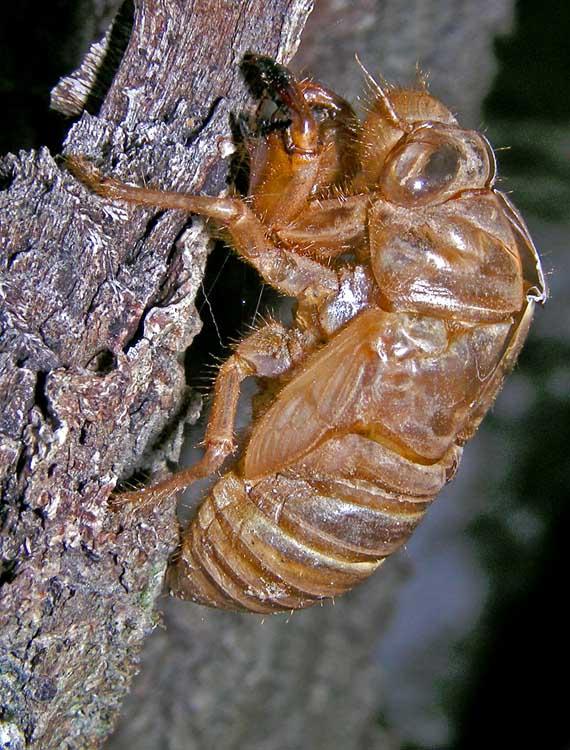 cicada shell.jpg