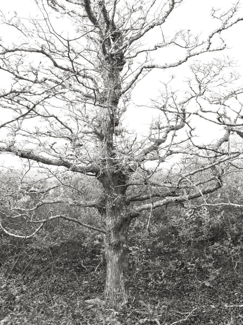 Tree at Coskata Woods