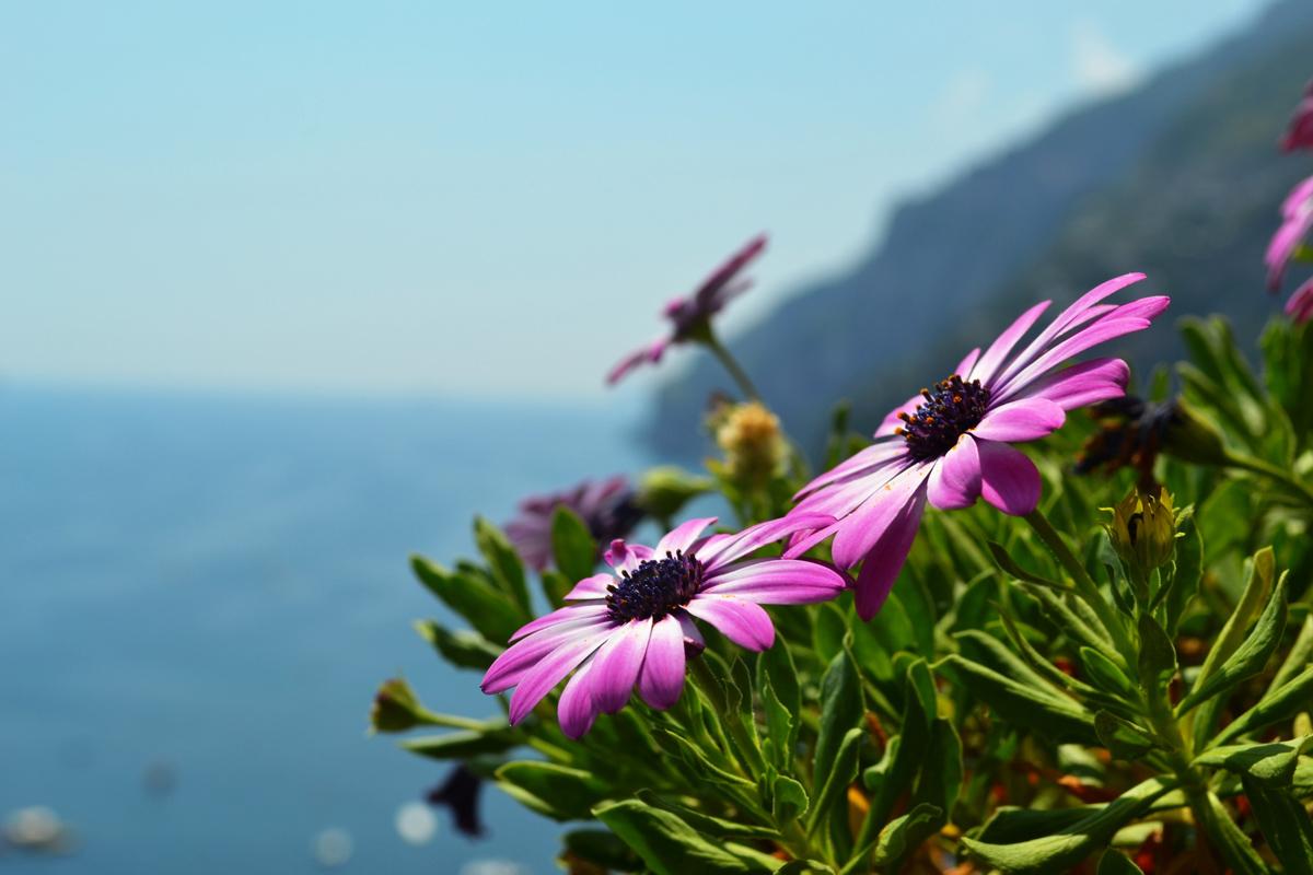 Purple Flowers Amalfi Coast