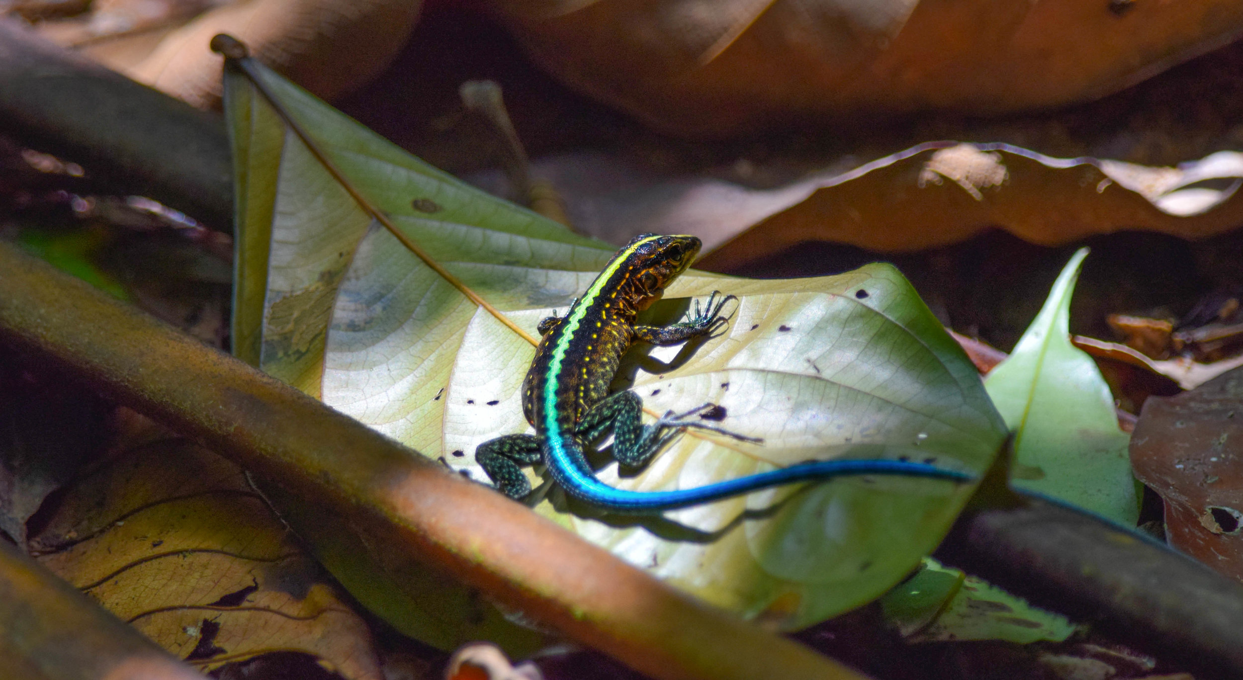 Central American Ameiva