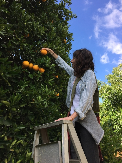 Perfecting my orange picking technique at King & King Ranch - Fillmore, CA