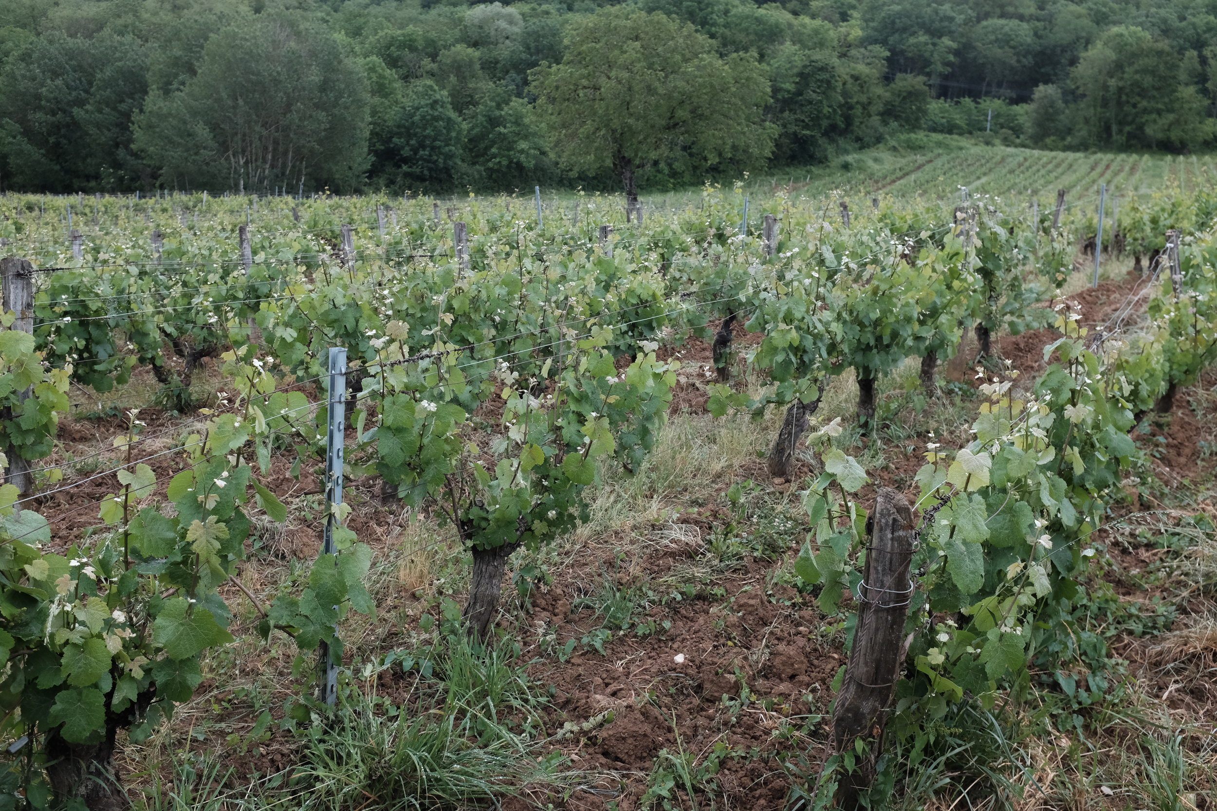 Vineyards right behind the Domaine du Pelican winery. June 2019.