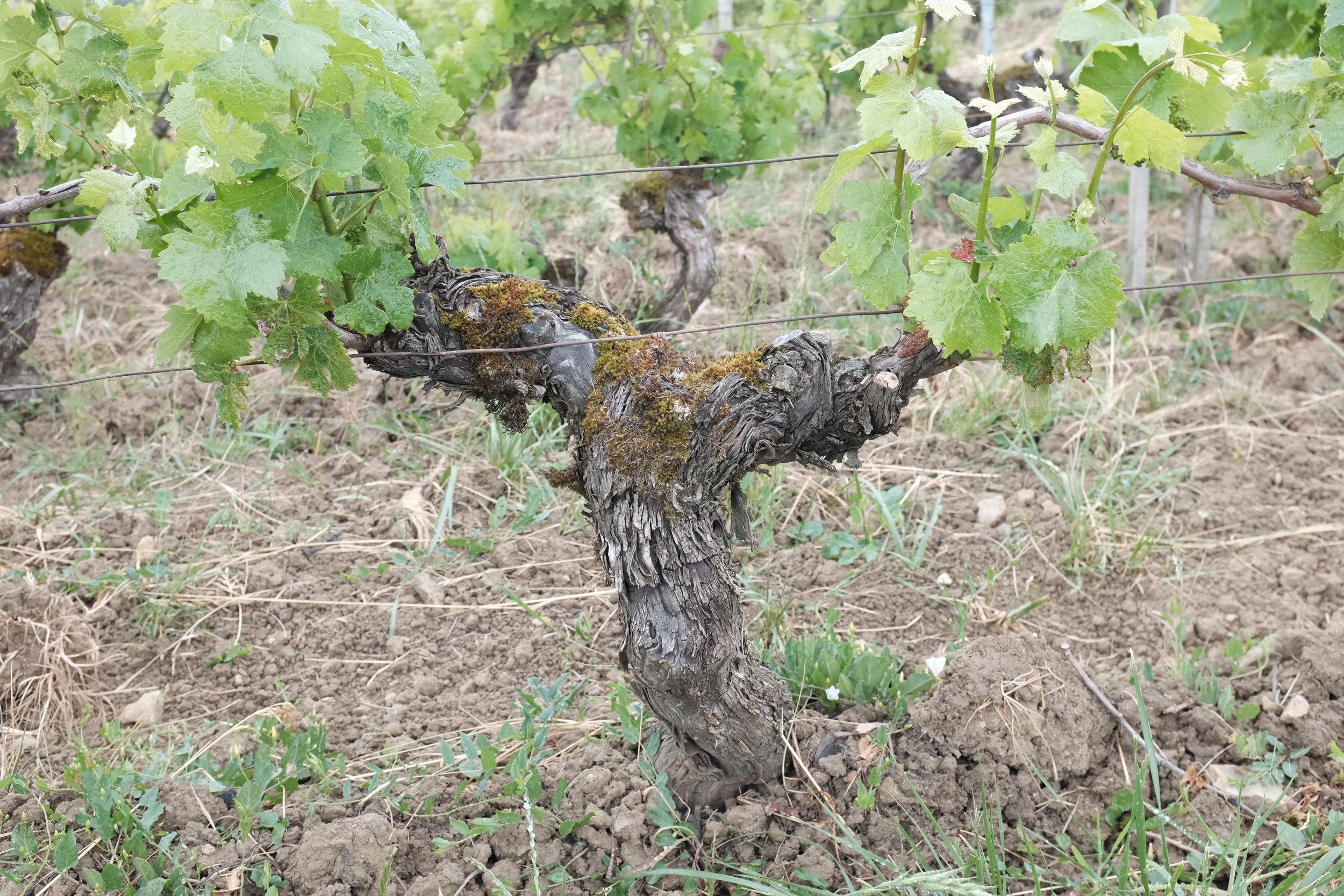 Old Puffeney vines, Jura, France. June 2019.