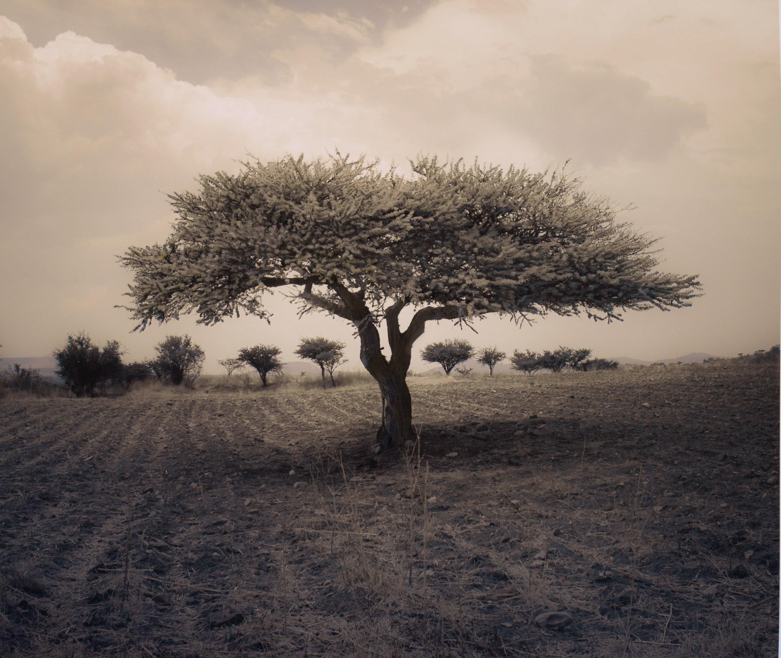 Huisache Tree, Mexico