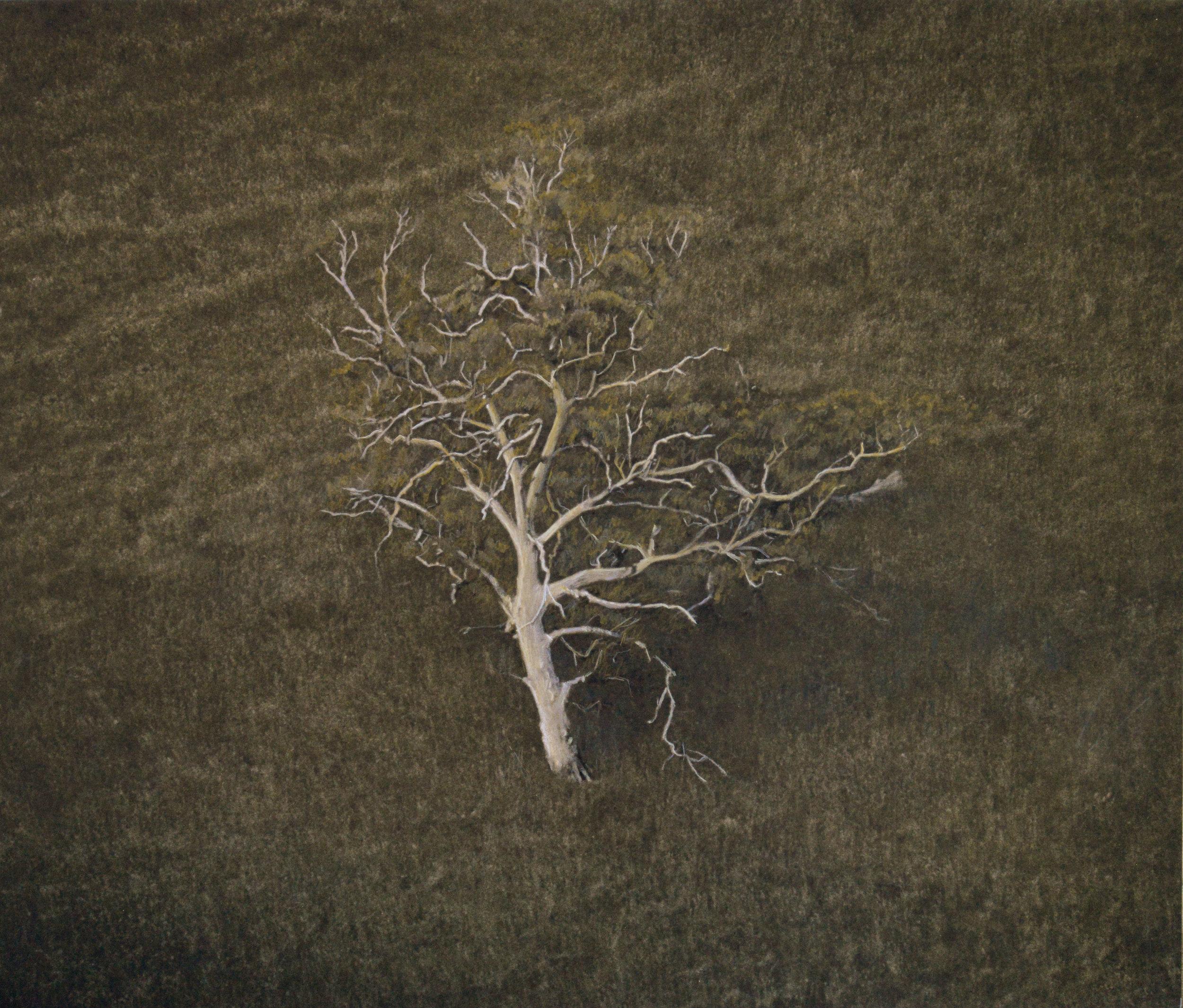 Pale Eucalyptus Tree