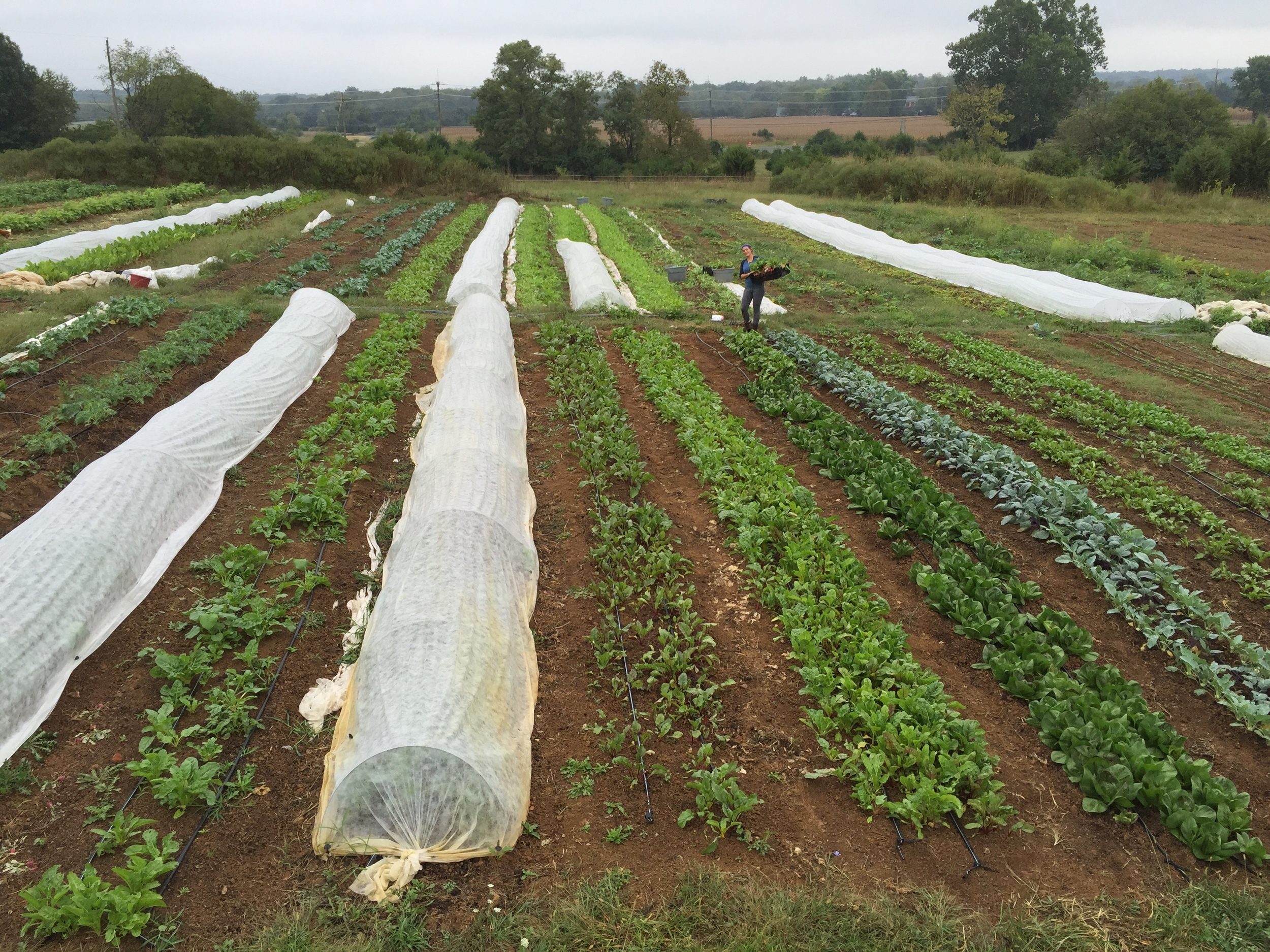 Now we grow intensively on two+ acres and have a flock of 300-600 chickens. We attend four farmers markets and have a 50 member CSA program.