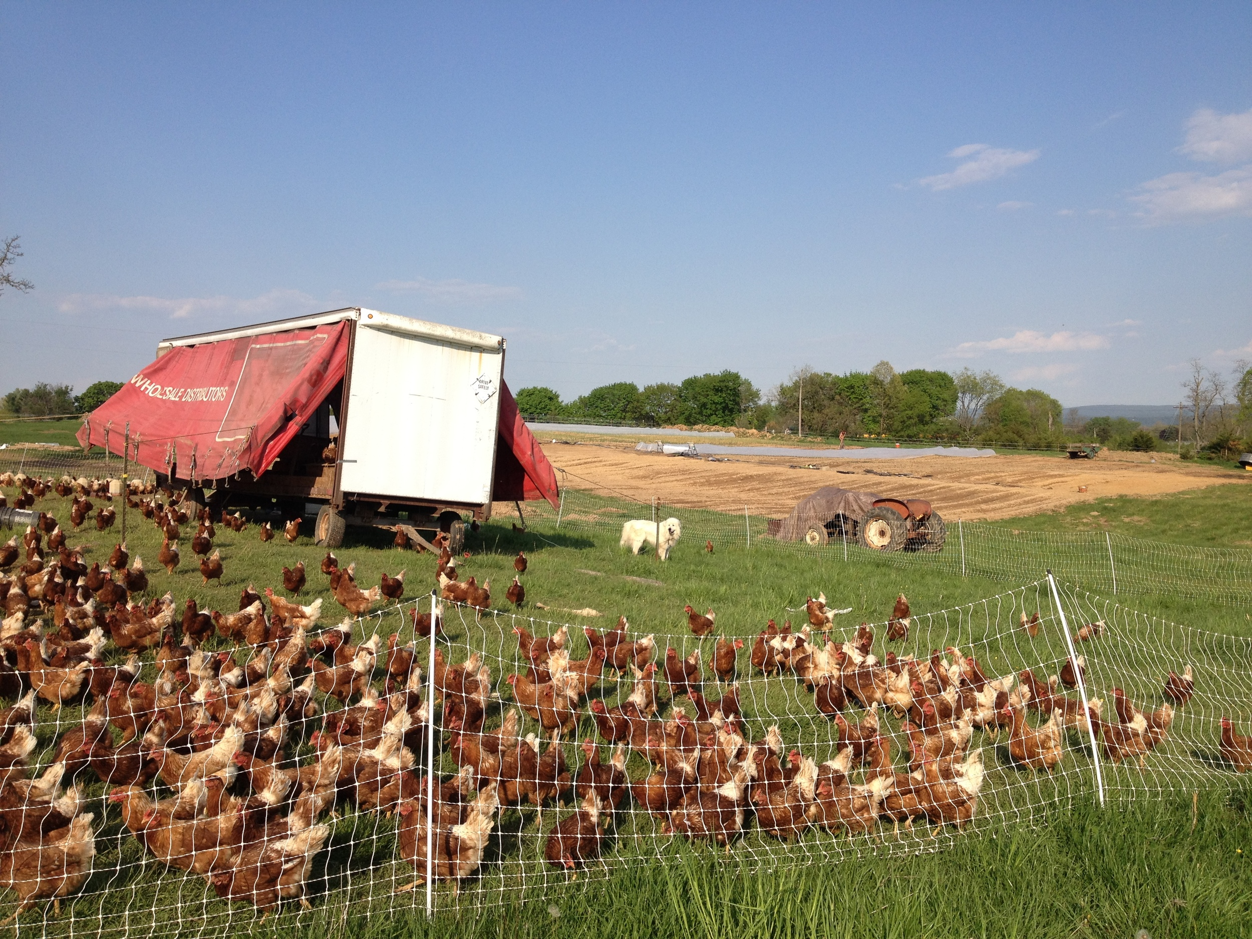 Our flock of pasture-raised laying hens has been with us from our first year along with our Great Pyrenees livestock guardian dogs.