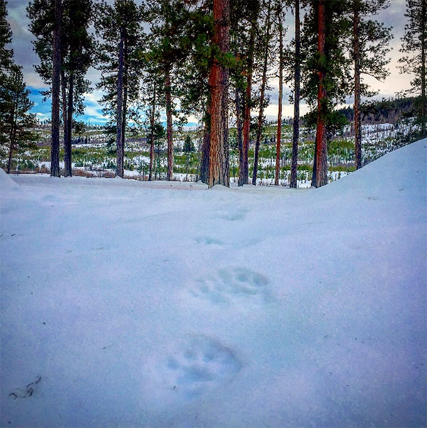Wolverine (Gulo gulo) tracks traversing through the project area.