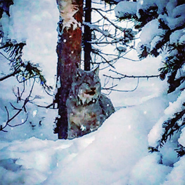 A male lynx watched us with sleepy eyes and a full stomach.