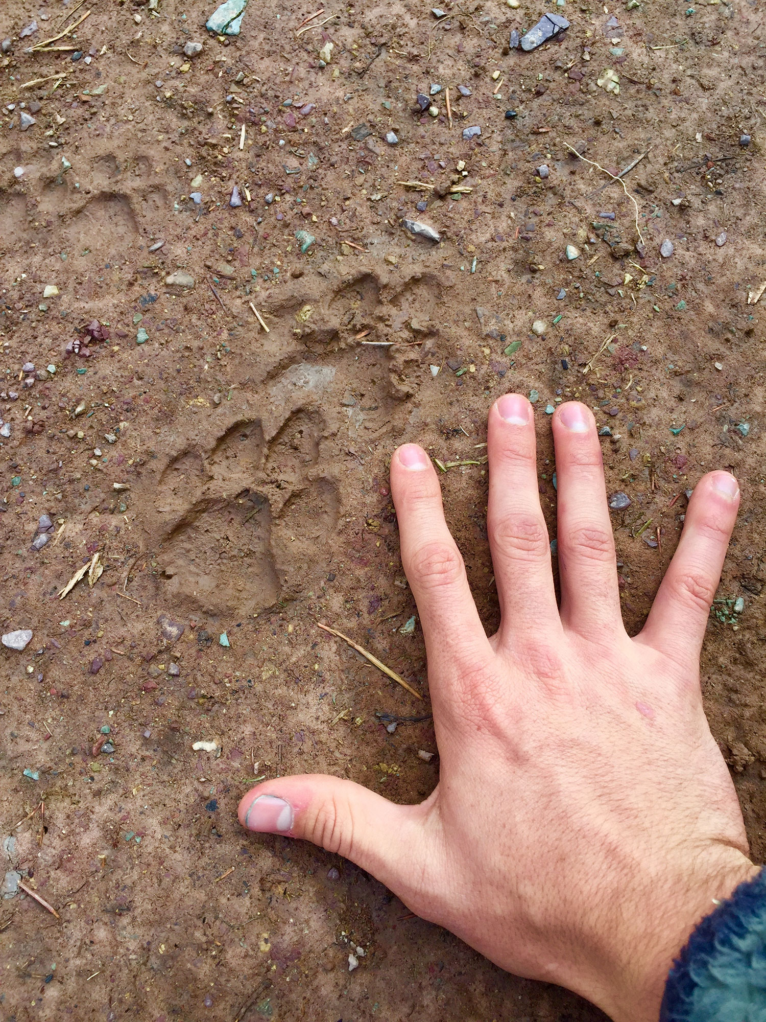 Mountain lion kit tracks found on a Forests and Communities field-day!