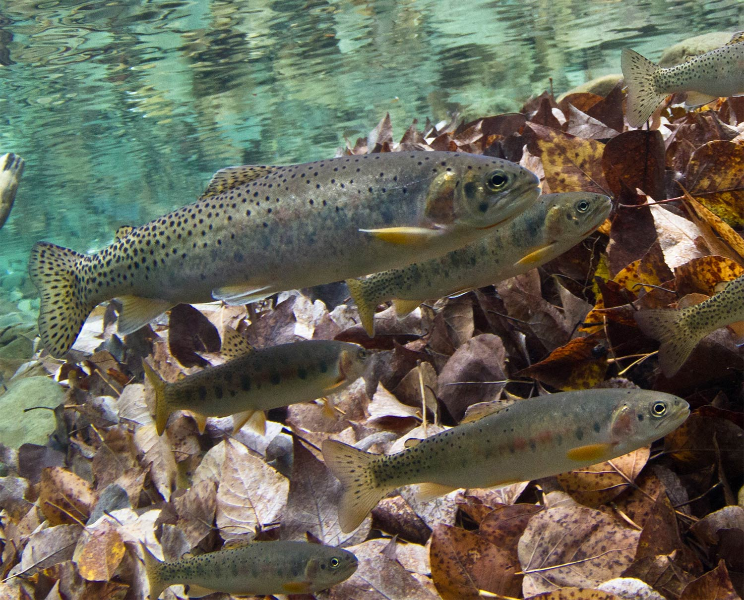 Westslope cutthroat trout - USGS/Johnny-Armstrong