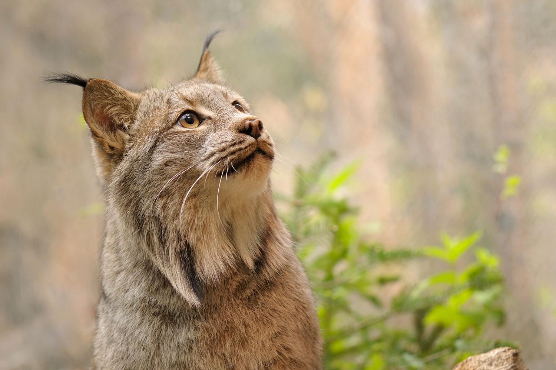 Canada lynx/Hamiza Bakirci