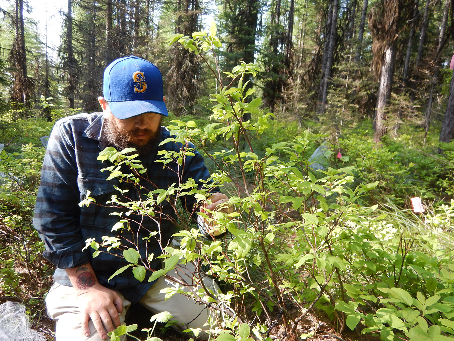 Earthwatch volunteer Kyle Stoddard came to the expedition from Aberdeen, Washington. Building on his experience as a forest technician, he proved willing and able to learn new skills with plants and bumblebees in the Northern Rockies. Photo: Maria Mantas