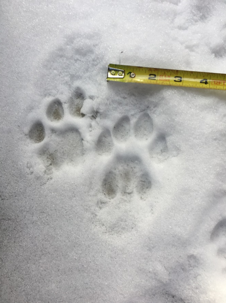 "Surprises never cease in this pursuit, and ""when in doubt, track it out"" is an old SVC quip that Luke is fond of repeating. In addition to finding sign of gray wolves, ruffed grouse, short-tailed weasel, red squirrel, whitetail deer, and snowshoe hare, the class found some excellent examples of mountain lion prints – round and asymmetrical, with four toes, no claws, and three distinct lobes on the palm pads. One mountain lion even took a seat right on the pavement of this outhouse!"