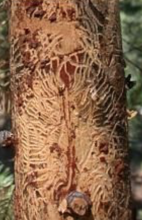 "The Douglas fir beetle ( Dendroctonus psuedotsugae ) (top) carves fan-like ""galleries"" from a central line underneath bark (left). The mountain pine beetle carves wider, more erratic galleries without a central line (right). Photo Credit: United States Forest Service."